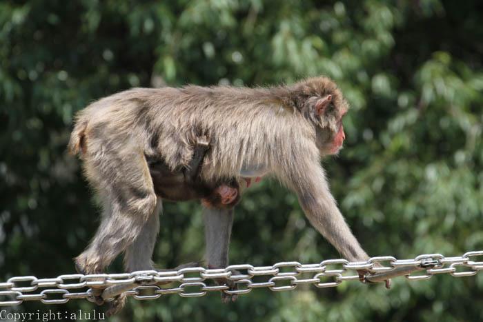 ニホンザル 仙台市八木山動物園