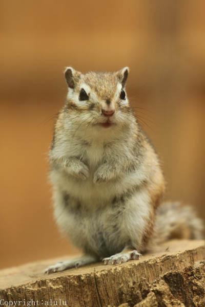 シマリス 動物写真