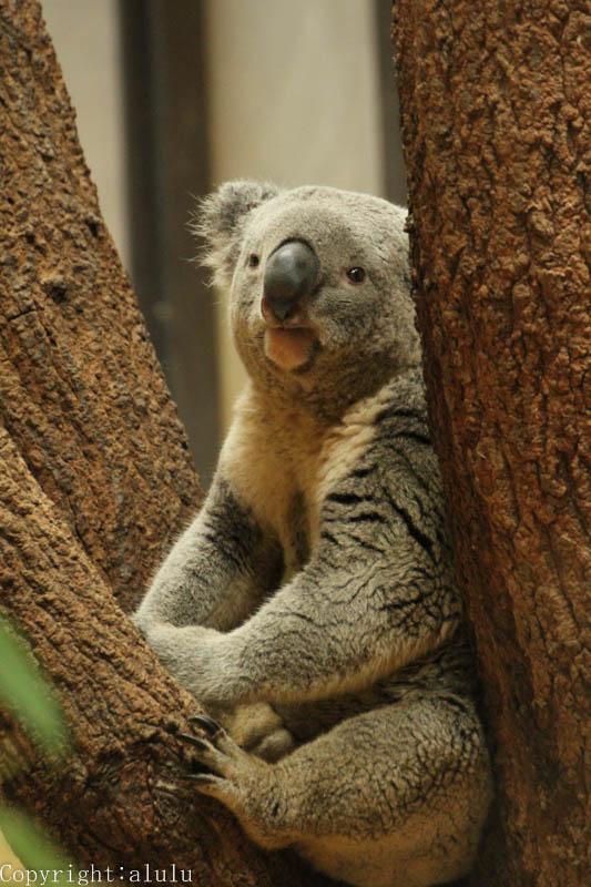 コアラ 歩いている