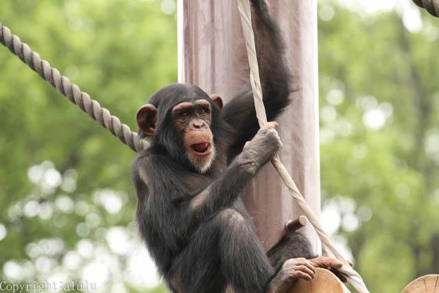 動物写真 チンパンジー