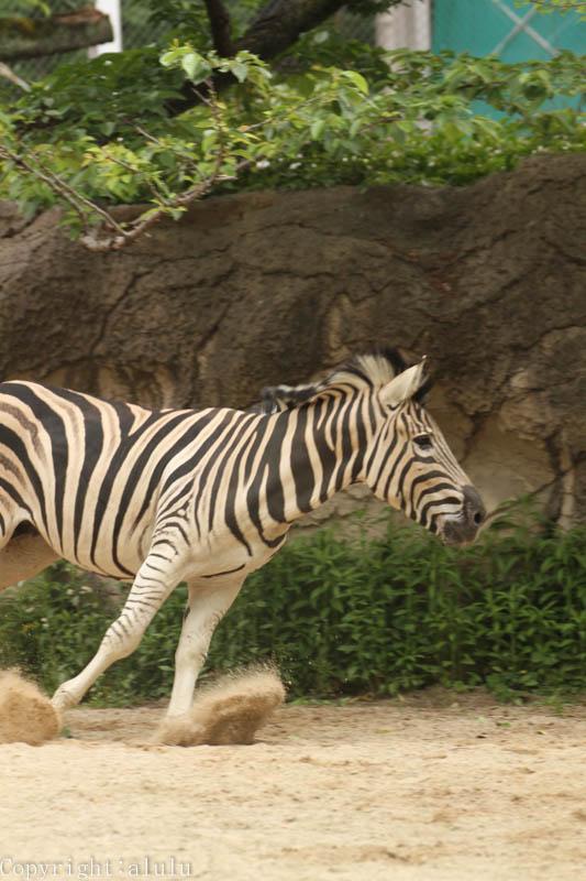 チャップマンシマウマ 動物園
