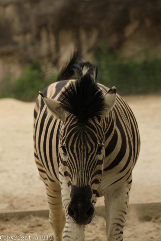 チャップマンシマウマ 動物写真