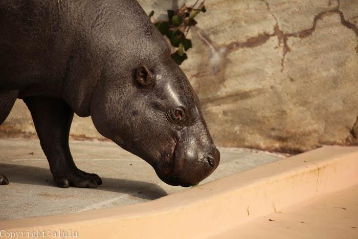 東山動物園 珍しい動物 コビトカバ