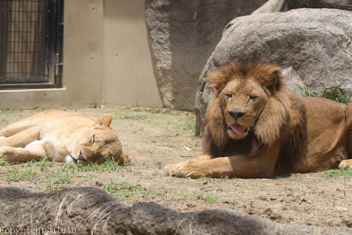動物写真 ライオン