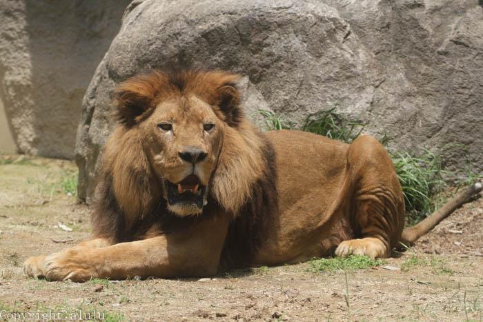 ライオン 日本平動物園