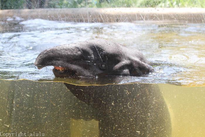 動物園 マレーバク