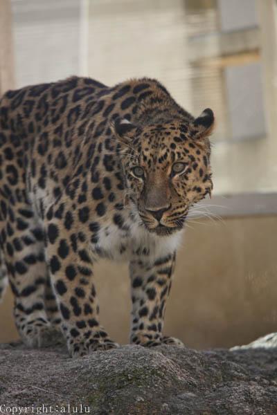 王子動物園 アムールヒョウ