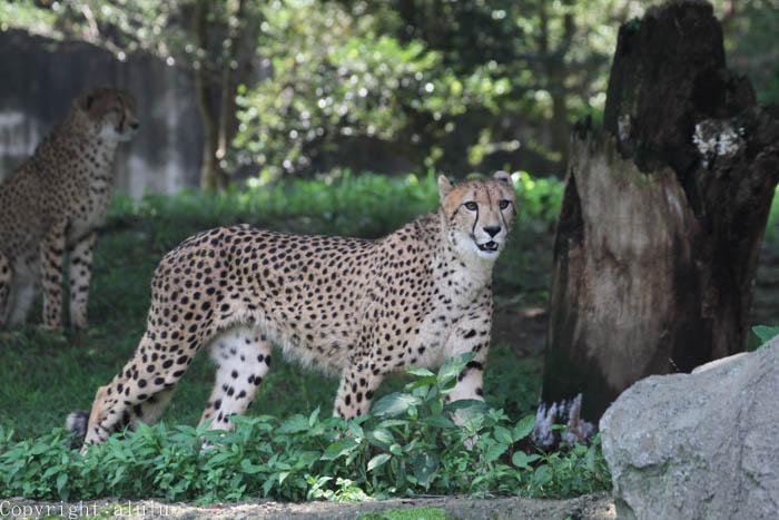 チーター 動物園