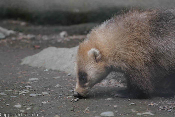 ニホンアナグマ 盛岡市動物園