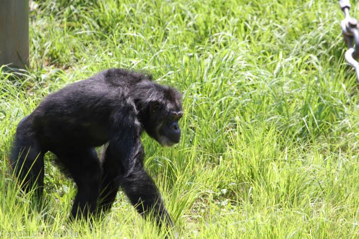 多摩動物公園 チンパンジー さる サル
