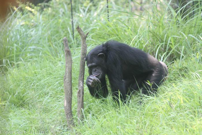 チンパンジー 多摩動物公園