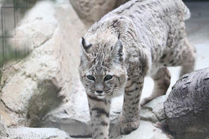 ボブキャット 王子動物園