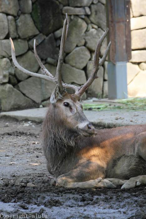 シフゾウ 動物写真