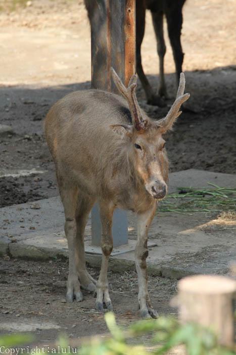 多摩動物公園 シフゾウ
