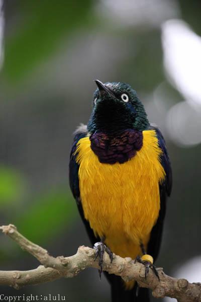 キンムネオナガテリムク 花鳥園
