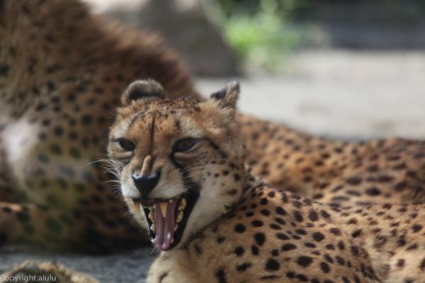 チーター 多摩動物公園