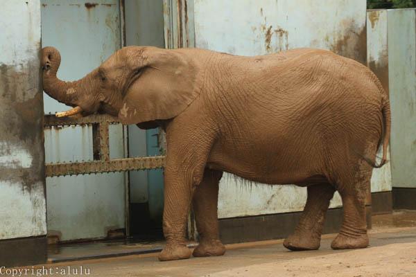 動物写真 アフリカゾウ