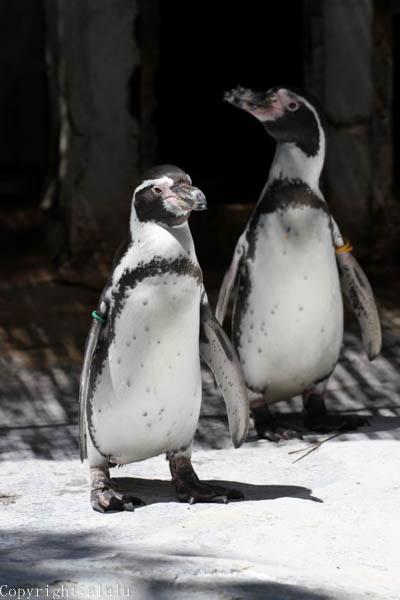 フンボルトペンギン 動物写真