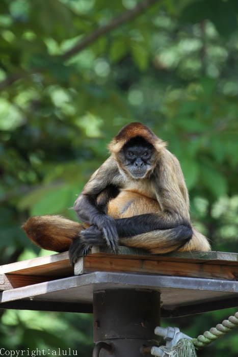 ジェフロイクモザル 動物写真