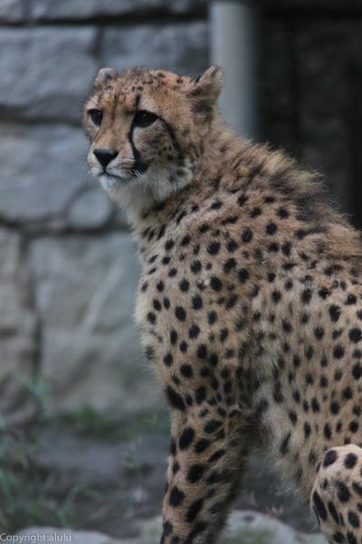 チーター 動物写真