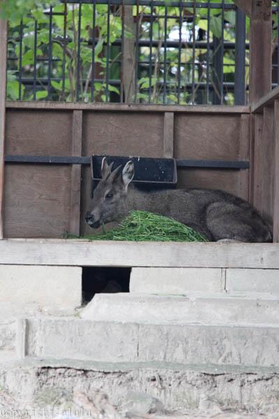 ゴーラル 日本 動物園