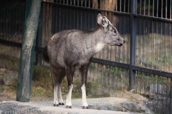 ゴーラル 京都市動物園