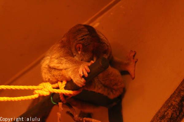スローロリス 動物写真