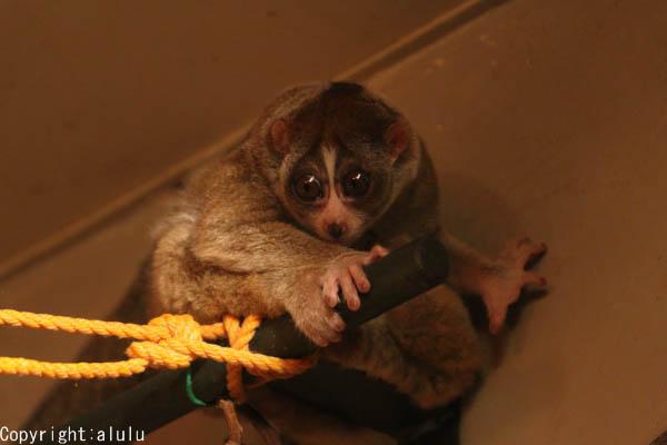 スローロリス 明るくなる 日本平動物園