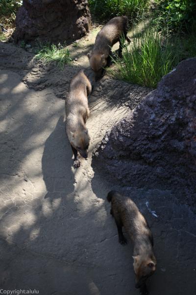 ヤブイヌ 動物写真
