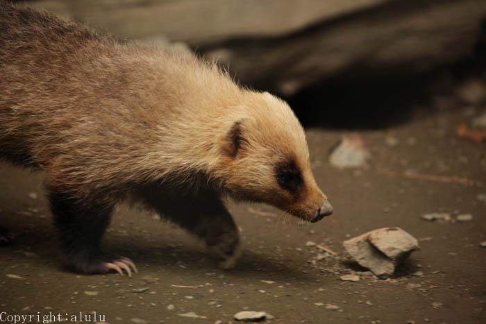 ニホンアナグマ 動物写真