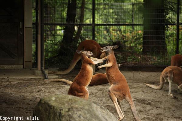 アカカンガルー 盛岡市動物園