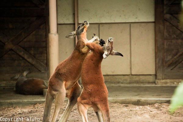 アカカンガルー 戦う 動物写真