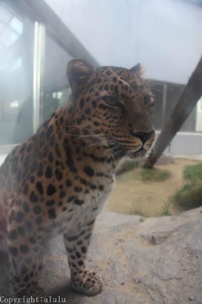 アムールヒョウ 動物園