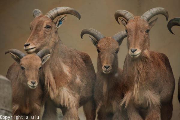 バーバリーシープ 動物写真