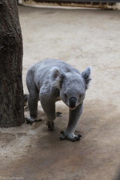 コアラ 画像 歩いている