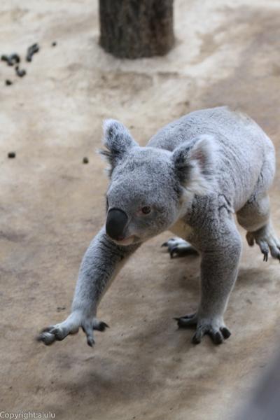 歩いている コアラ