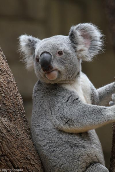 起きている コアラ