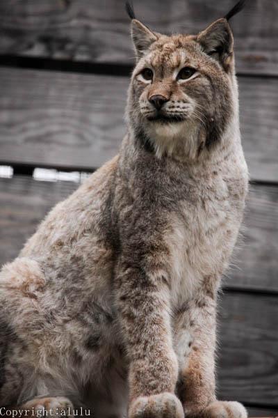 シベリアオオヤマネコ 動物写真