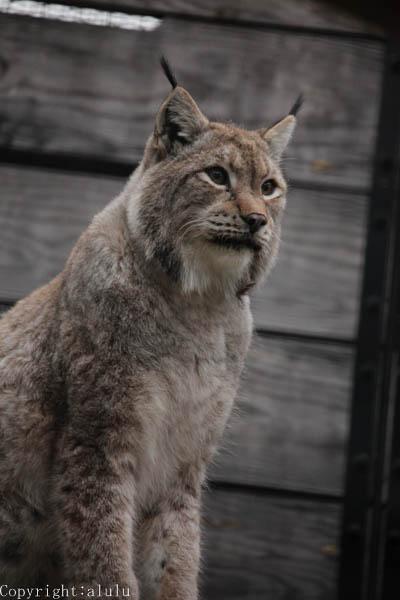 福岡市動物園 シベリアオオヤマネコ