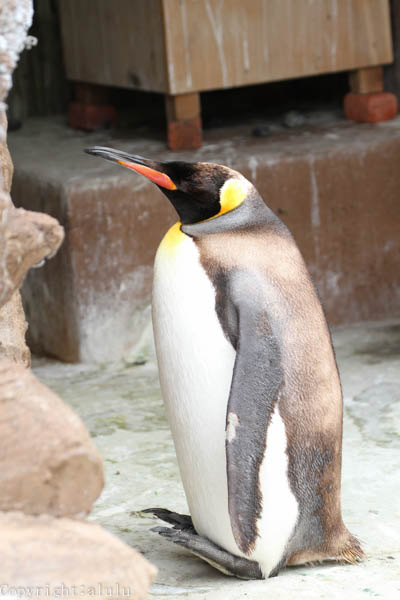 東山動植物園 キングペンギン