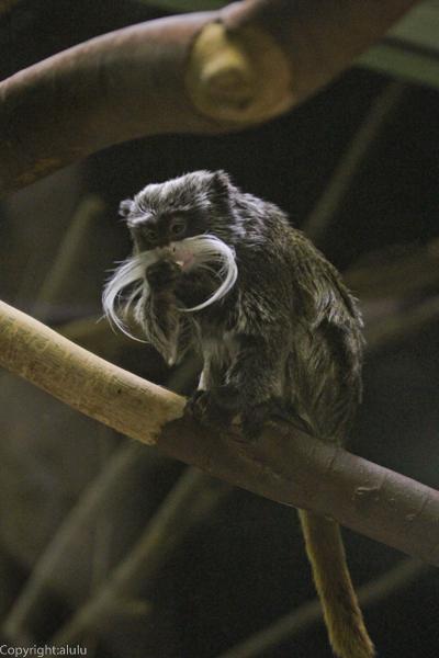 エンペラータマリン 千葉市動物公園