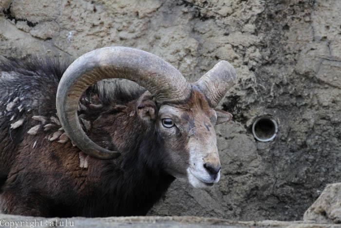 千葉市動物公園 ムフロン