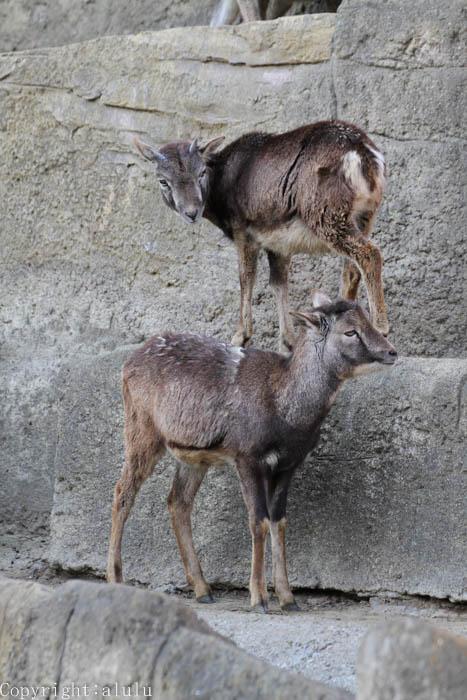 ムフロン 動物園
