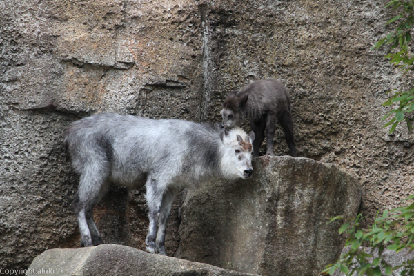 ニホンカモシカ 金沢動物園