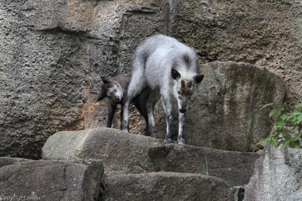 ニホンカモシカ 動物写真