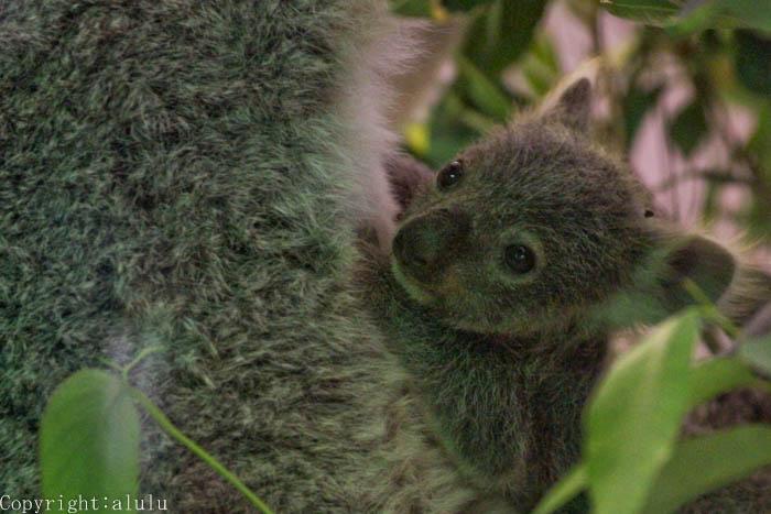 赤ちゃん コアラ