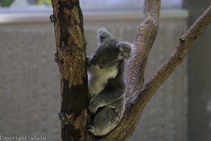 コアラ 金沢動物園