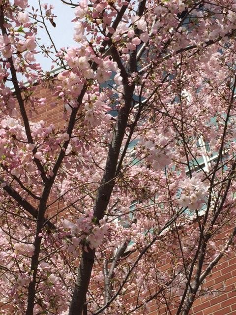 Sakura2-02May15.jpg