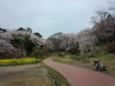 photo_2015_mituikesakura_12_2015_0401.jpg