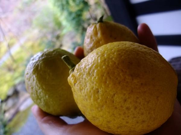 朝摘みレモン